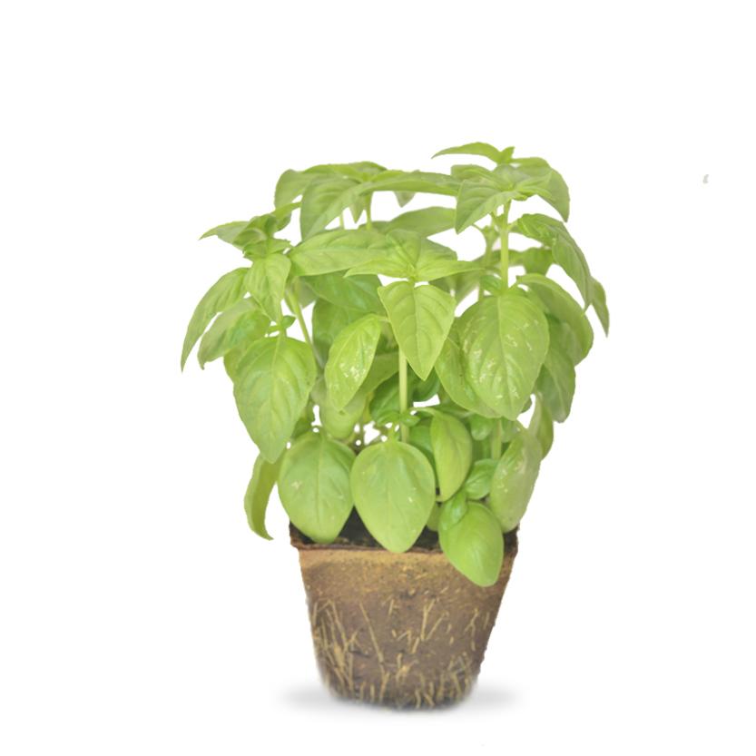 Basilic pot Image